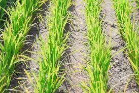 RS atinge 85% do previsto para semeadura de arroz