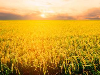 EUA deve plantar 12% menos arroz