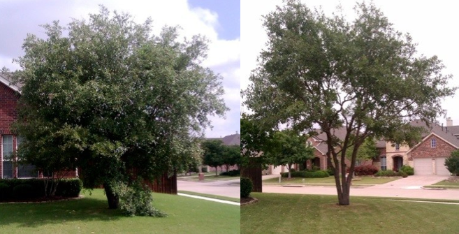 Before and after example of a large Oak tree thinned out and canopy raised.