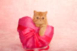 Exotic kitten holding large pink satin h