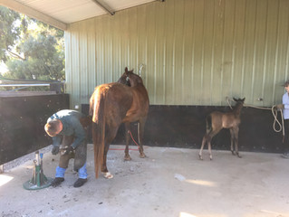 Bannister Arabian Saddlebreds