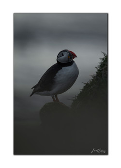 Puffin lover