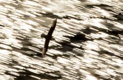 Fulmar fly