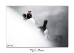 Puffin dream - 43