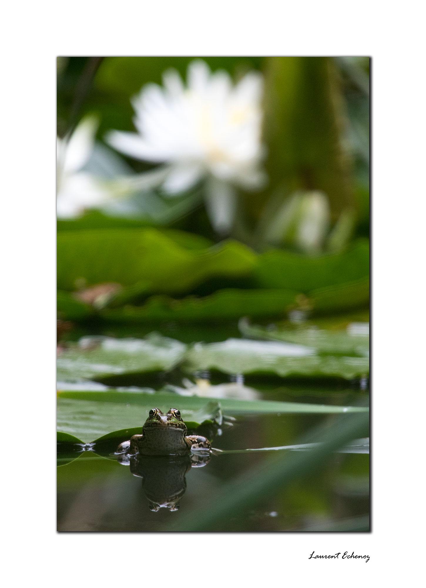 Le sérieux de grenouille