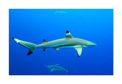 Tetiaora requin pointes noires