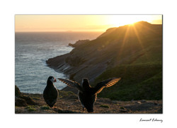 Sunset with puffin