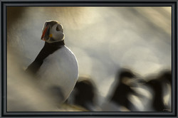 The puffin's game