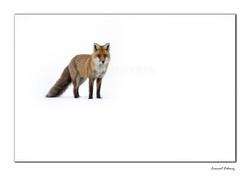 Regard de renard