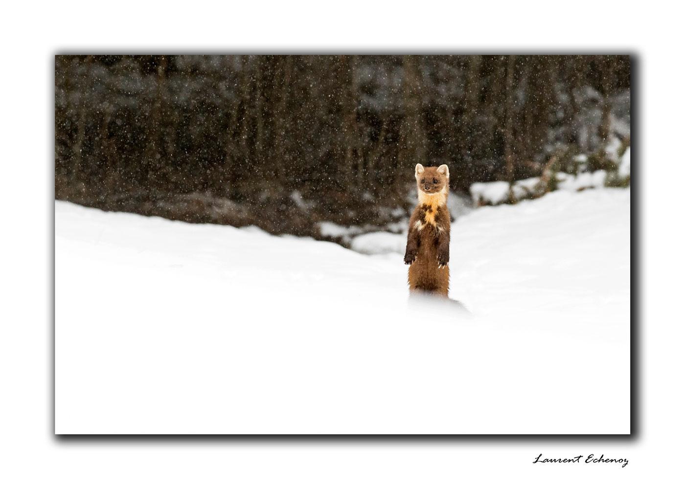 Martre des pins sous la neige