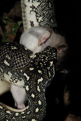 Diamond python with rat in Oslo Reptilpark