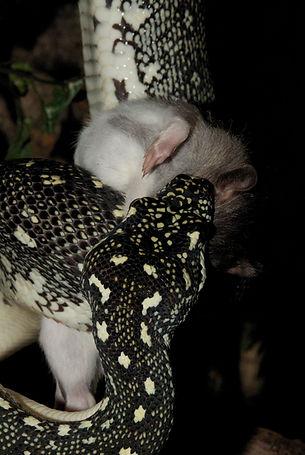En diamantpyton sluker en rotte uten problemer. Ingen av våre slanger får levende mat.