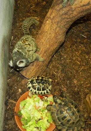 En nysgjerrig silkeape lurer på om de greske landskilpaddene er interressert i å dele på lunsjen?