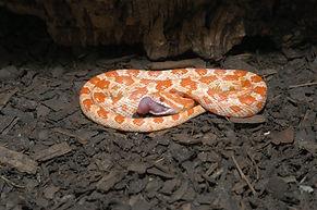 Baby corn snake eating dinner