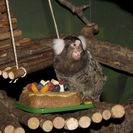 One of our common marmosets with a specially designed birthdaycake