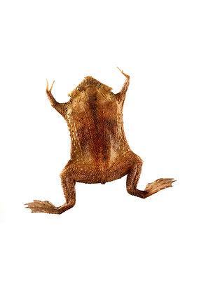 A baby pipa pipa frog, born in Oslo Reptilpark