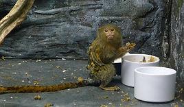 Pygmy marmoset has found some snacks