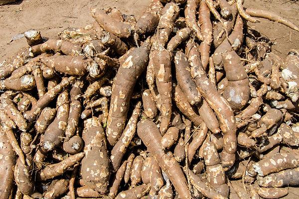Cassava Tubers (6).jpg