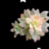 hupakoe-plant5.png