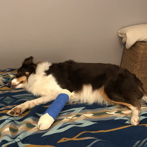 Cinder's Journey: Recovering From Metacarpal Fractures, Weeks 0-3