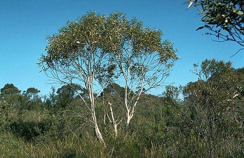 Eucalyptus_gregsoniana_habit.jpg