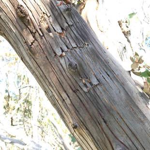 Cracking bark