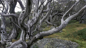 Guardian: Scientists hope to find way to stop mass eucalypt dieback in Australian alps