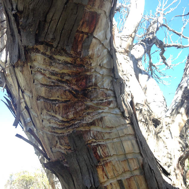 Fallen bark patches reveal scarring