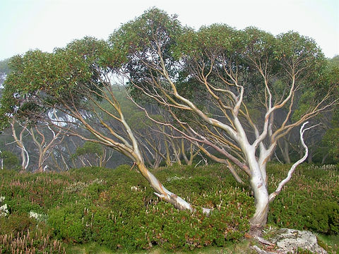 Eucalyptus pauciflora subsp. acerina by Mike Bayly. Licenced CC BY-NC-SA 2.0 https://creativecommons.org/licenses/by-nc-sa/2.0/