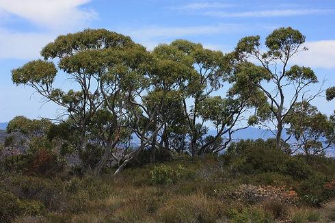 VF5282h Eucalyptus pauciflora subsp. par