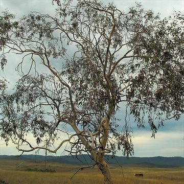 Eucalyptus_lacrimans_edited.jpg