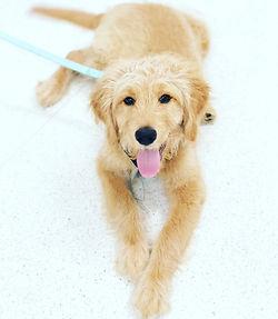 puppy preschool dog training bulli wollo