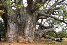 電動バイク世界一周南アフリカ出会った世界一のバオバブ