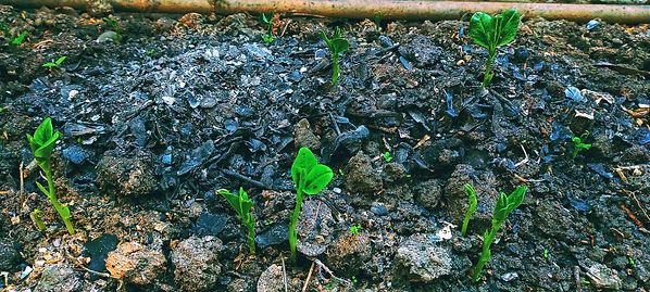 14. And soon hope did grow amidst the fe