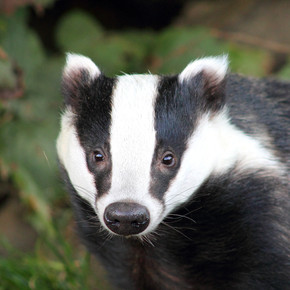 Blessings From a Badger
