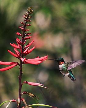 !Hummingbird.jpg