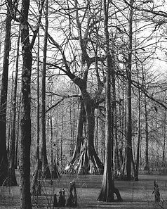 Clyde Butcher Tree-small.jpg