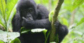 5-days-gorilla-trekking-safari.jpg