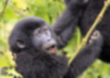 baby-gorilla.png