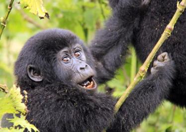 baby-gorilla.png