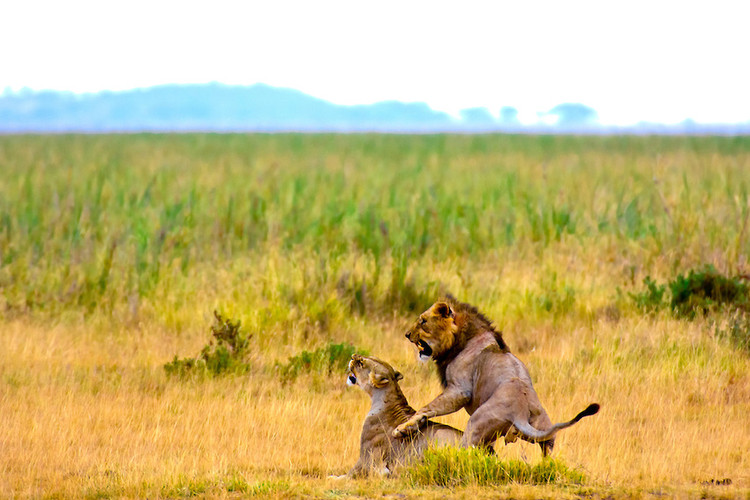 Lions in the Mara