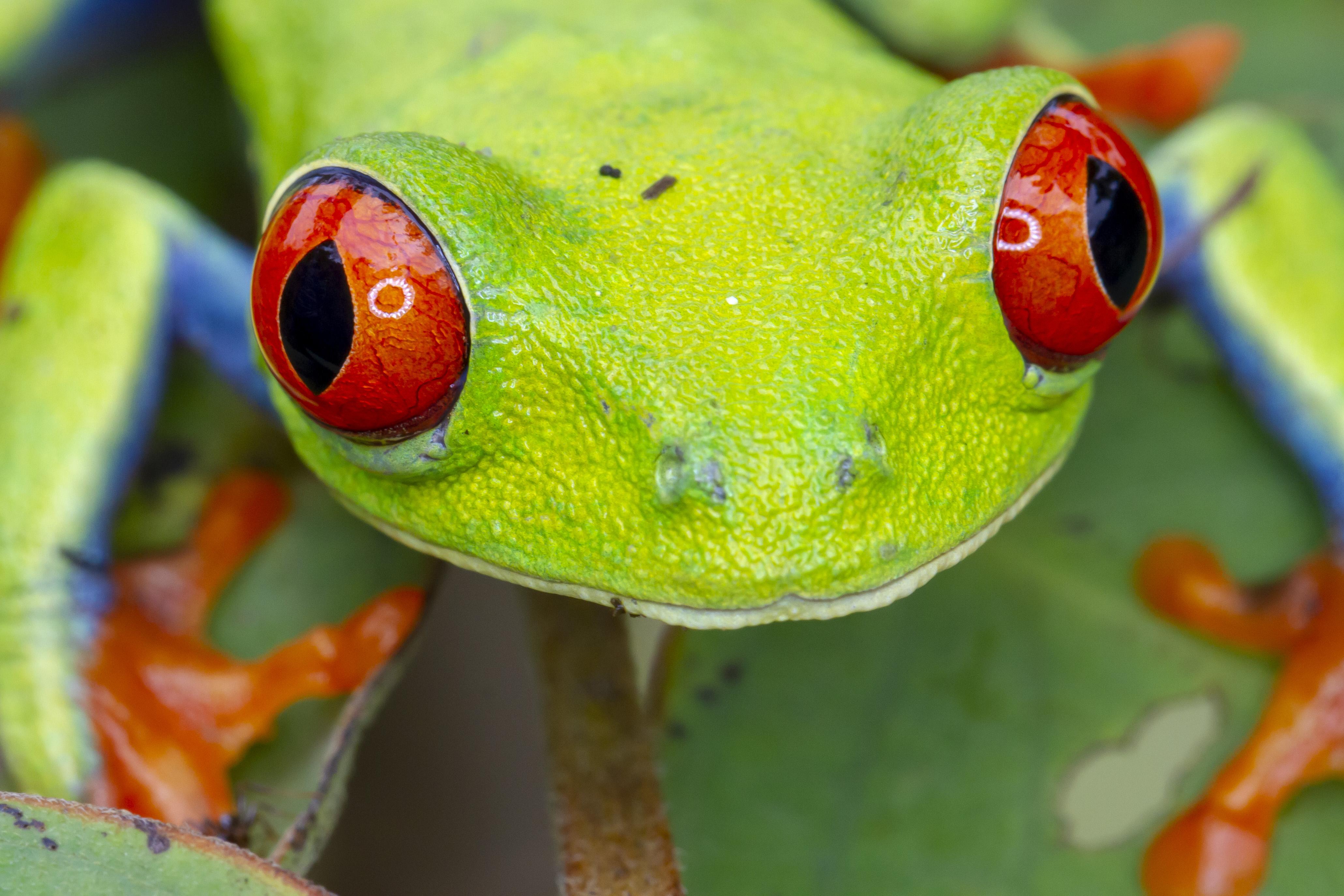 Rana de Ojos Rojos (Agalychnis callidryas)