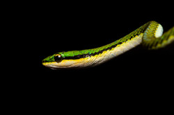 Falso Tamagas Verde (Leptophis sp)