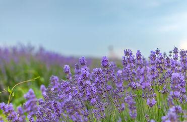 flowers-lavender-4APUTJD.jpg