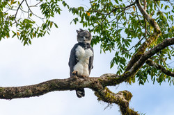 Águila Harpía (Harpia harpyja)