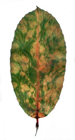 Chlorophyll 1