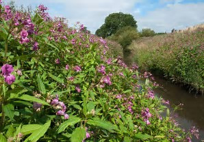 We're getting ready to tackle Himalayan balsam!