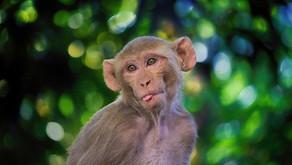 Evolution and The Disturbing Science of Man-Monkey Laboratory Hybrids