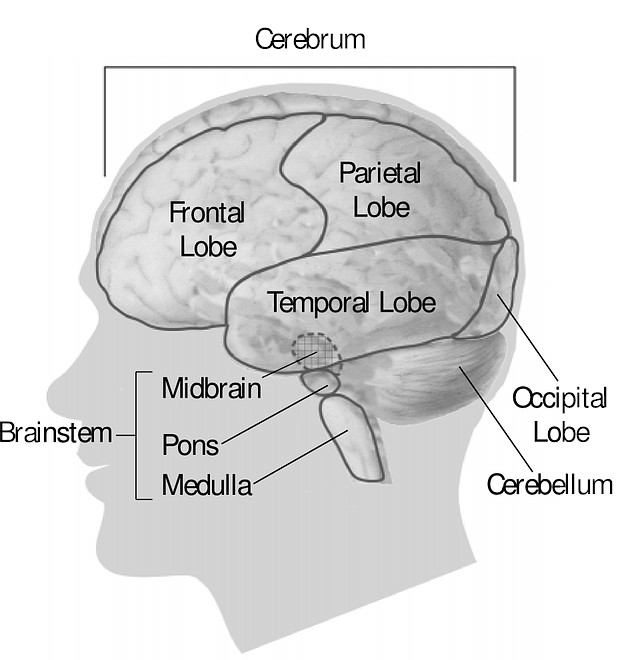 Labelled diagram of the brain