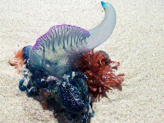 Man o war jelly fish